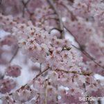 2016/4/8 榴岡公園の花見