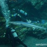 仙台うみの杜水族館 2016年6月に入ったヨシキリザメさん #s_uminomori