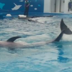 仙台うみの杜水族館ドルフィン・スプラッシュ テールスプラッシュ動画
