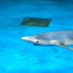 仙台うみの杜水族館 7/12 ヨシキリザメの泳ぎ方 動画