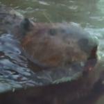 仙台うみの杜水族館 アメリカビーバー 動画