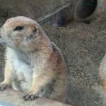 仙台市八木山動物公園 オグロプレーリードッグ 動画