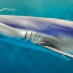 仙台うみの杜水族館 ヨシキリザメ 動画